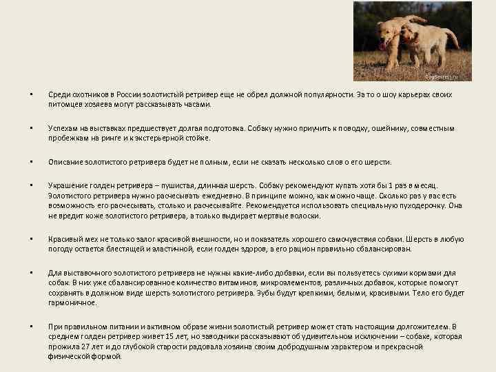 • Среди охотников в России золотистый ретривер еще не обрел должной популярности. За