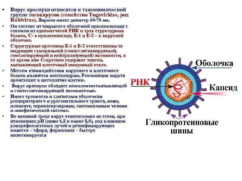 • Вирус краснухи относится к таксономической группе тогавирусов (семейство Togaviridae, род Rubivirus). Вирион