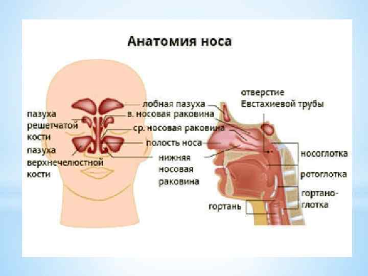 строение носа человека фото