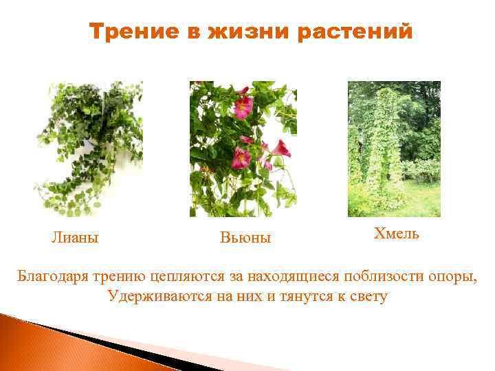 Трение в жизни растений Лианы Вьюны Хмель Благодаря трению цепляются за находящиеся поблизости опоры,