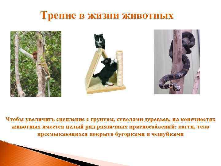 Трение в жизни животных Чтобы увеличить сцепление с грунтом, стволами деревьев, на конечностях животных