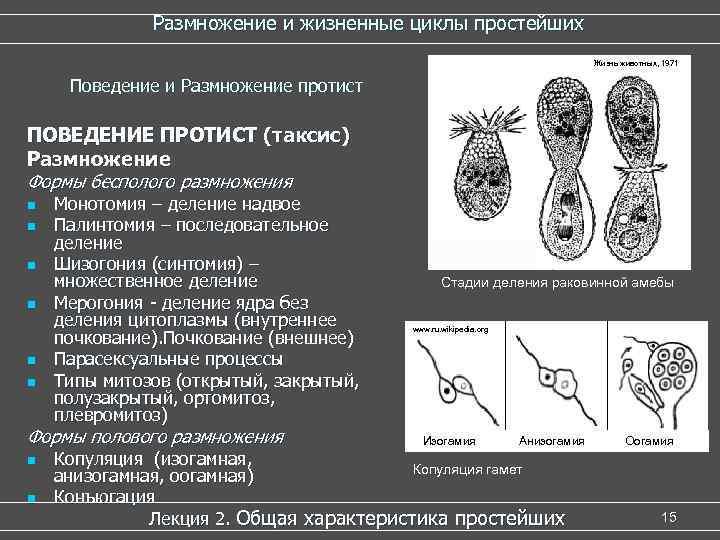 Парасексуальное размножение у амебы