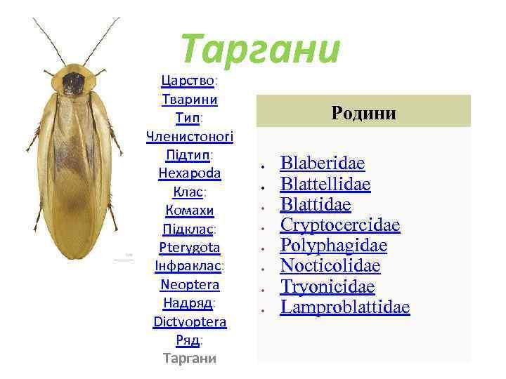 Таргани Царство: Тварини Тип: Членистоногі Підтип: Hexapoda Клас: Комахи Підклас: Pterygota Інфраклас: Neoptera Надряд: