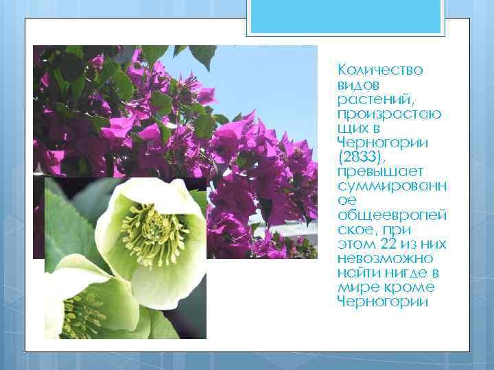Количество видов растений, произрастаю щих в Черногории (2833), превышает суммированн ое общеевропей ское, при