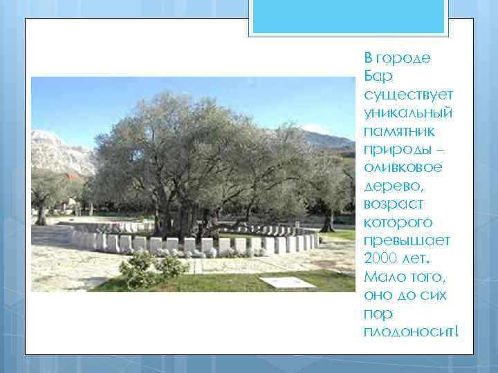 В городе Бар существует уникальный памятник природы – оливковое дерево, возраст которого превышает 2000