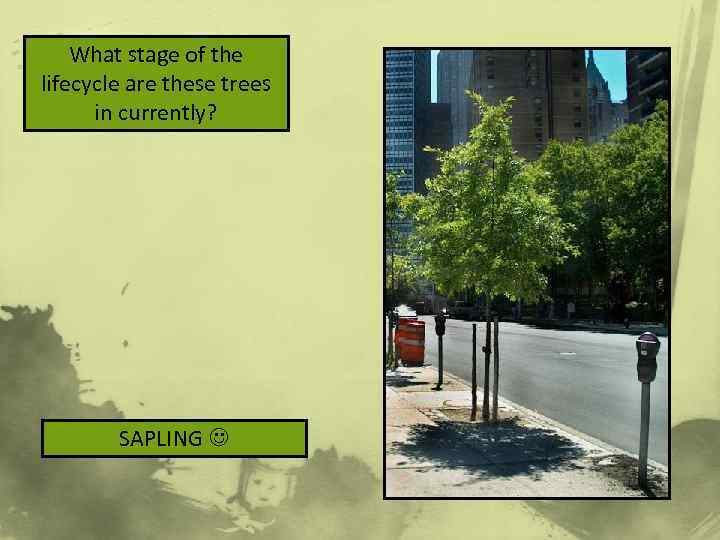 What stage of the lifecycle are these trees in currently? SAPLING