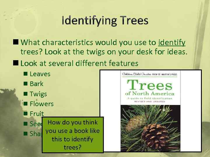 Identifying Trees n What characteristics would you use to identify trees? Look at the