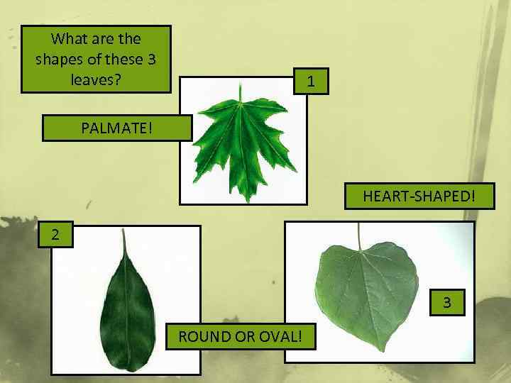 What are the shapes of these 3 leaves? 1 PALMATE! HEART-SHAPED! 2 3 ROUND