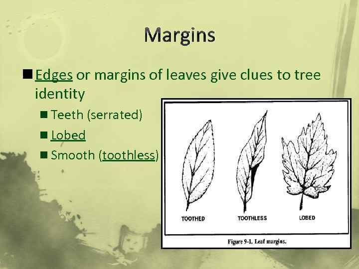 Margins n Edges or margins of leaves give clues to tree identity n Teeth