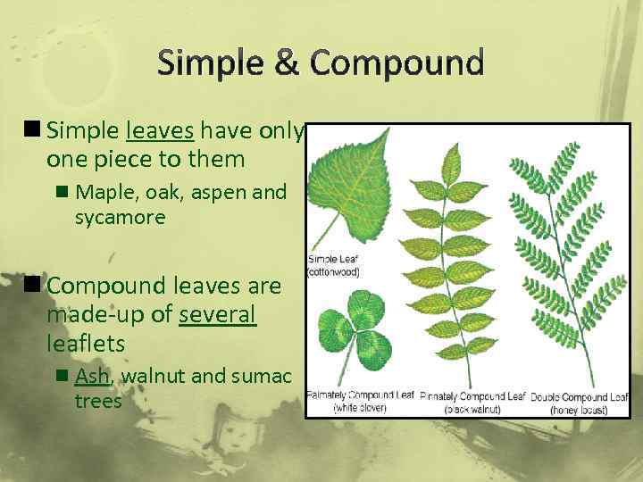 Simple & Compound n Simple leaves have only one piece to them n Maple,