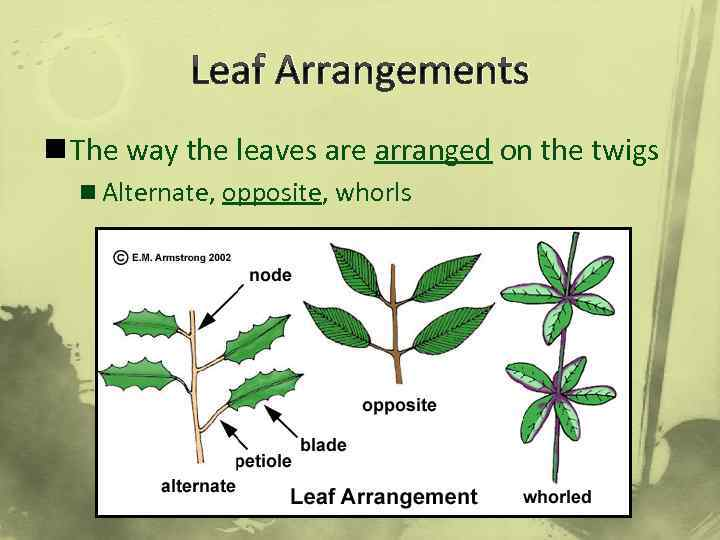 Leaf Arrangements n The way the leaves are arranged on the twigs n Alternate,