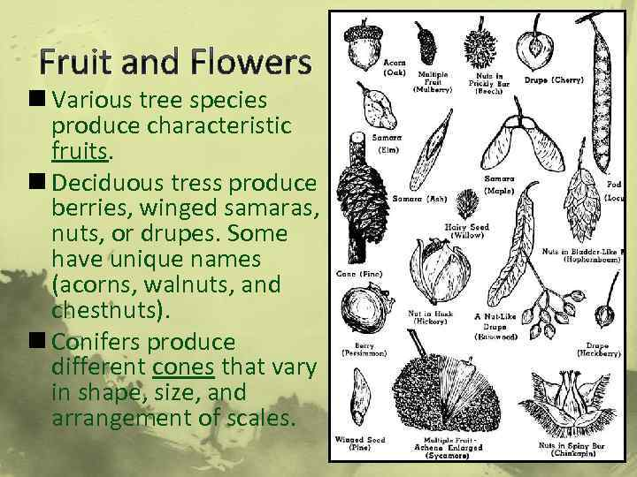 Fruit and Flowers n Various tree species produce characteristic fruits. n Deciduous tress produce