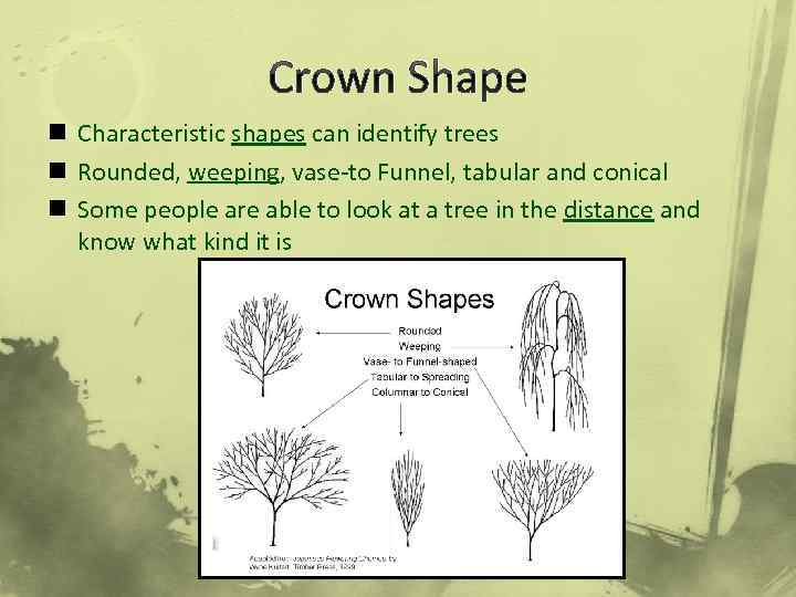 Crown Shape n Characteristic shapes can identify trees n Rounded, weeping, vase-to Funnel, tabular
