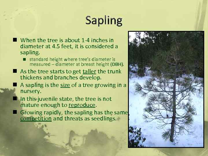 Sapling n When the tree is about 1 -4 inches in diameter at 4.