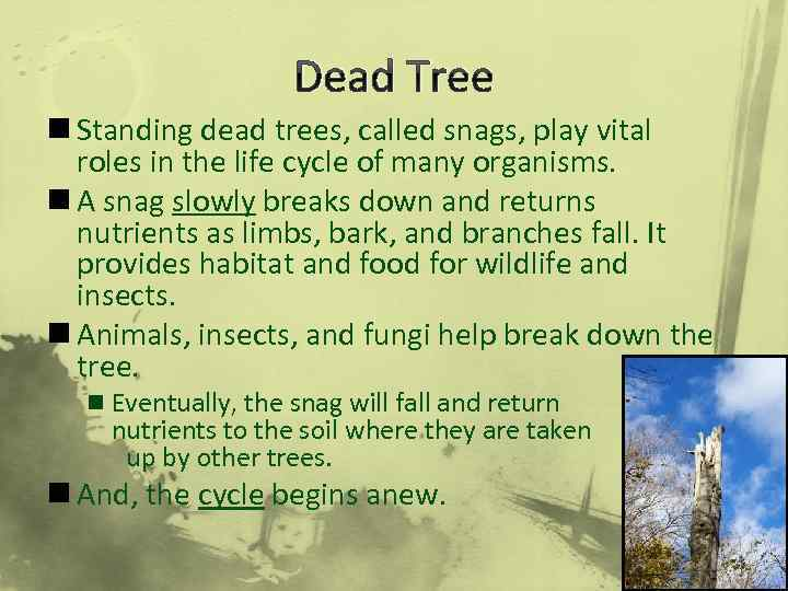 Dead Tree n Standing dead trees, called snags, play vital roles in the life