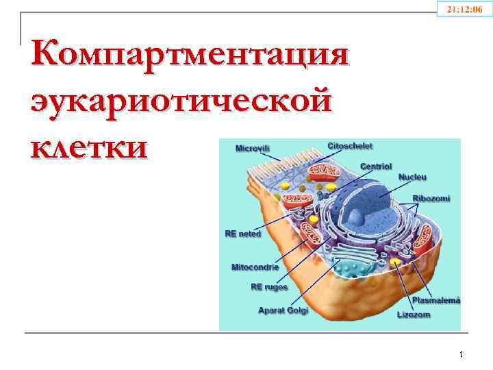 Компартментация эукариотической клетки 1