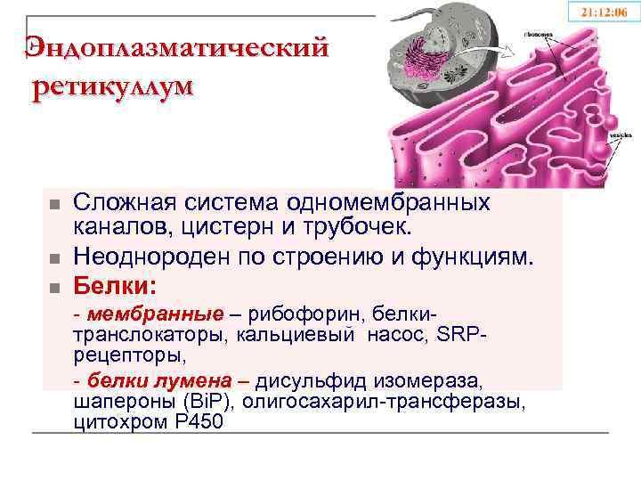 Эндоплазматический ретикуллум n n n Сложная система одномембранных каналов, цистерн и трубочек. Неоднороден по
