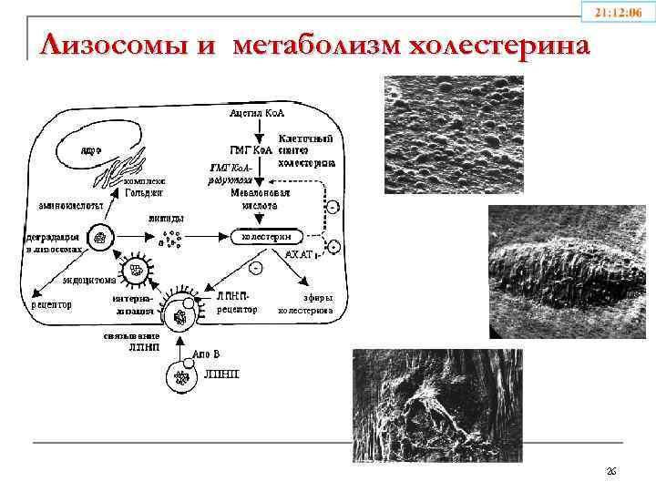 Лизосомы и метаболизм холестерина 26