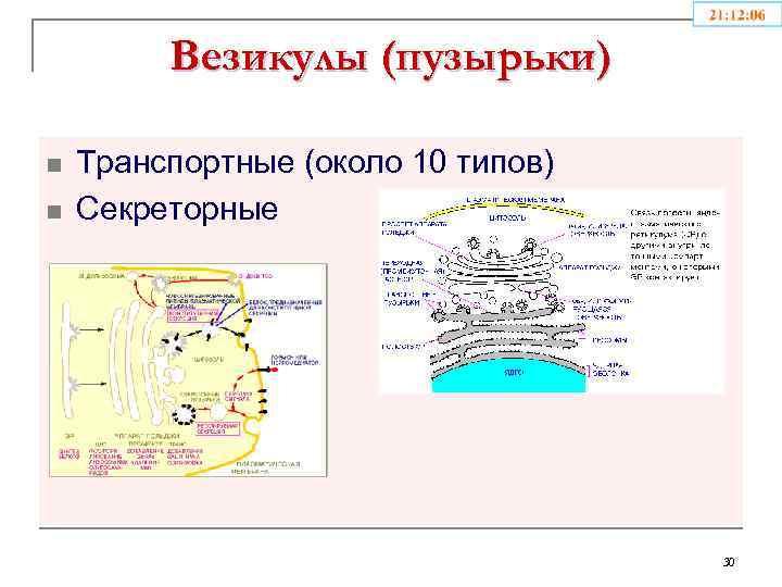 Везикулы (пузырьки) n n Транспортные (около 10 типов) Секреторные 30