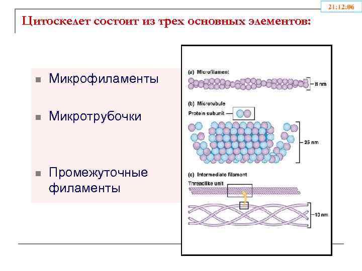 Цитоскелет состоит из трех основных элементов: n Микрофиламенты n Микротрубочки n Промежуточные филаменты
