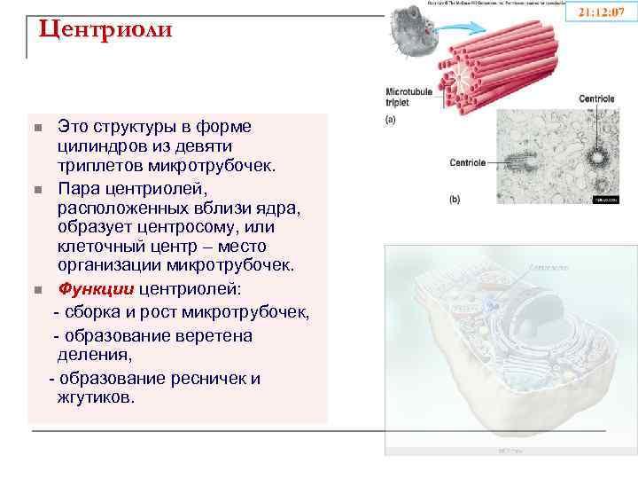 Центриоли Это структуры в форме цилиндров из девяти триплетов микротрубочек. n Пара центриолей, расположенных