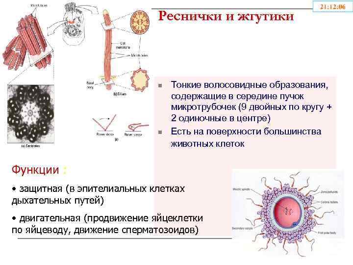 Реснички и жгутики n n Тонкие волосовидные образования, содержащие в середине пучок микротрубочек (9