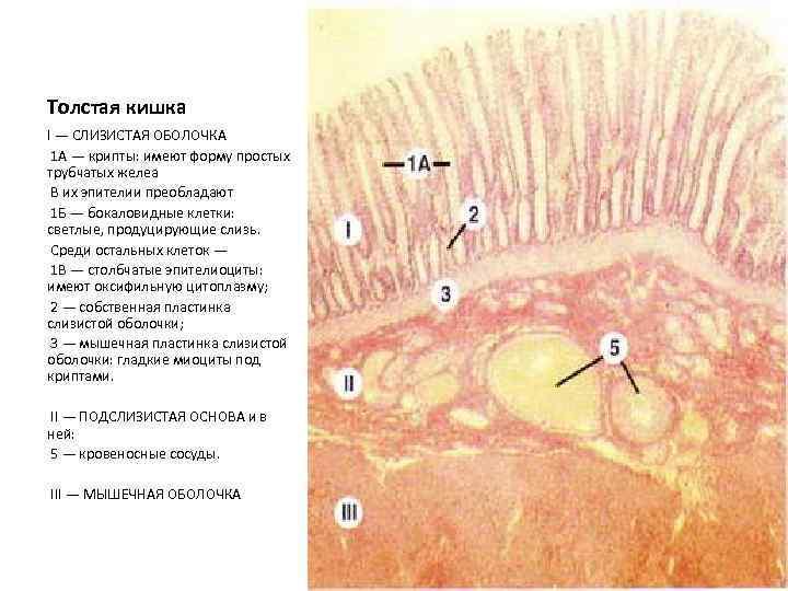 Толстая кишка I — СЛИЗИСТАЯ ОБОЛОЧКА 1 А — крипты: имеют форму простых трубчатых