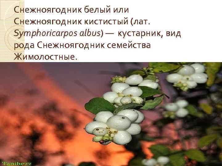 Снежноягодник белый или Снежноягодник кистистый (лат. Symphoricarpos albus) — кустарник, вид рода Снежноягодник семейства