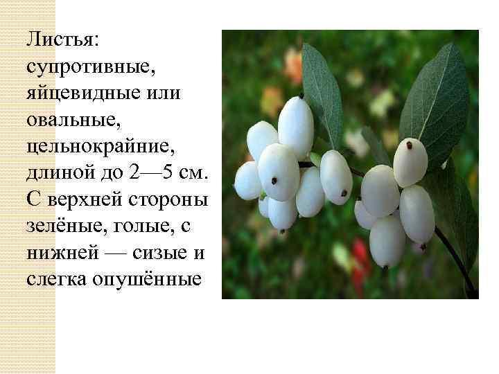 Листья: супротивные, яйцевидные или овальные, цельнокрайние, длиной до 2— 5 см. С верхней стороны