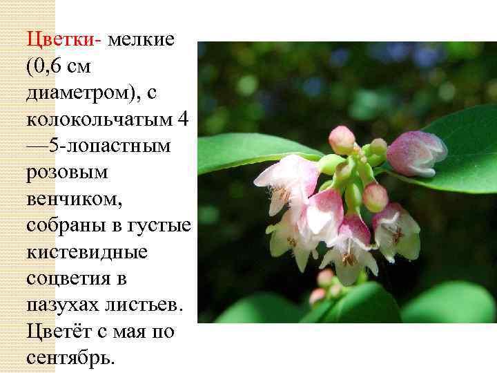 Цветки- мелкие (0, 6 см диаметром), с колокольчатым 4 — 5 -лопастным розовым венчиком,