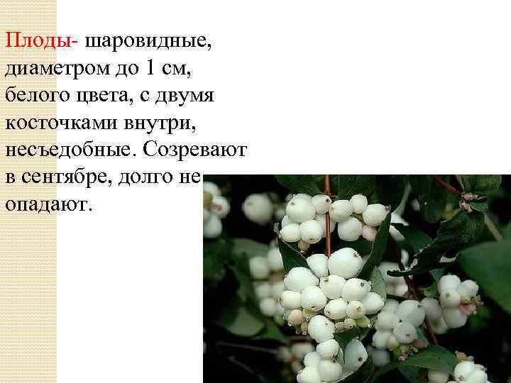 Плоды- шаровидные, диаметром до 1 см, белого цвета, с двумя косточками внутри, несъедобные. Созревают