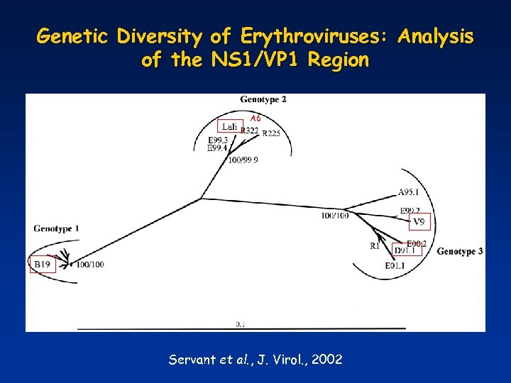 Genetic Diversity of Erythroviruses: Analysis of the NS 1/VP 1 Region A 6 Servant