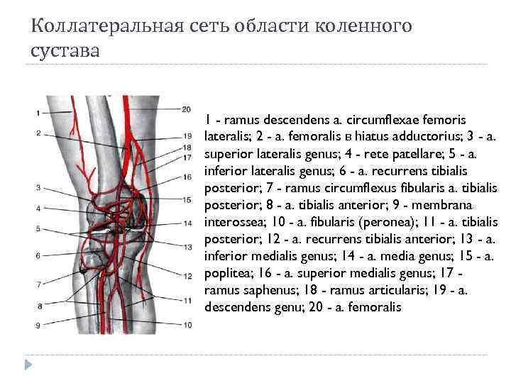 Картинка кровоснабжение коленного сустава