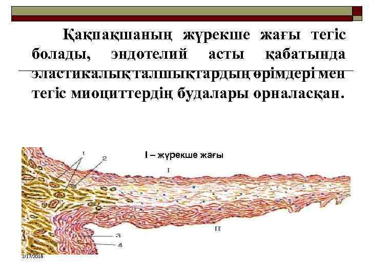 Қақпақшаның жүрекше жағы тегіс болады, эндотелий асты қабатында эластикалық талшықтардың өрімдері мен тегіс миоциттердің