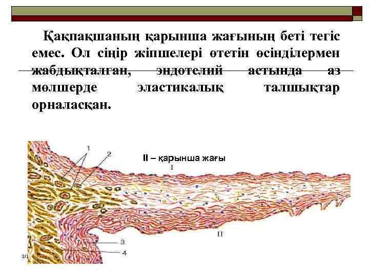 Қақпақшаның қарынша жағының беті тегіс емес. Ол сіңір жіпшелері өтетін өсінділермен жабдықталған, эндотелий астында