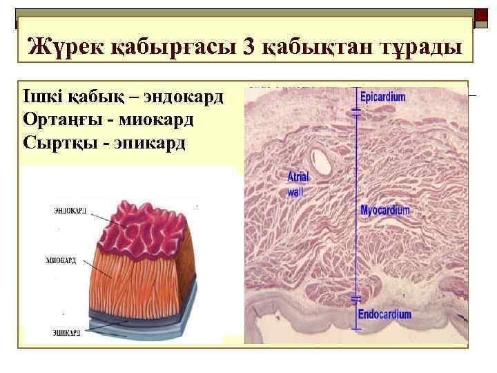 Жүрек қабырғасы 3 қабықтан тұрады Ішкі қабық – эндокард Ортаңғы - миокард Сыртқы -
