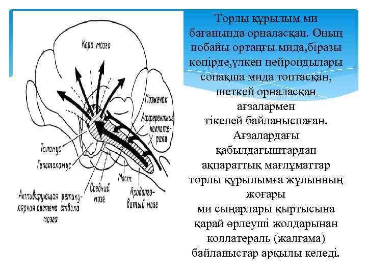 Торлы құрылым ми бағанында орналасқан. Оның нобайы ортаңғы мида, біразы көпірде, үлкен нейрондылары сопақша