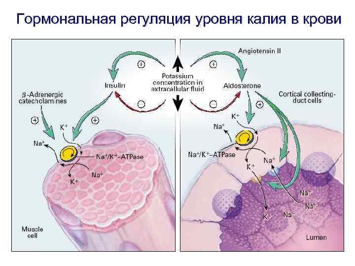 Гормональная регуляция уровня калия в крови