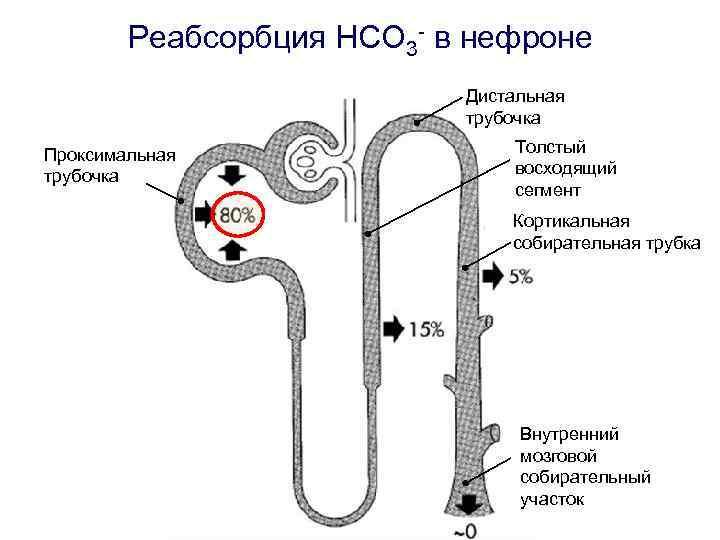 Реабсорбция HCO 3 - в нефроне Дистальная трубочка Проксимальная трубочка Толстый восходящий сегмент Кортикальная