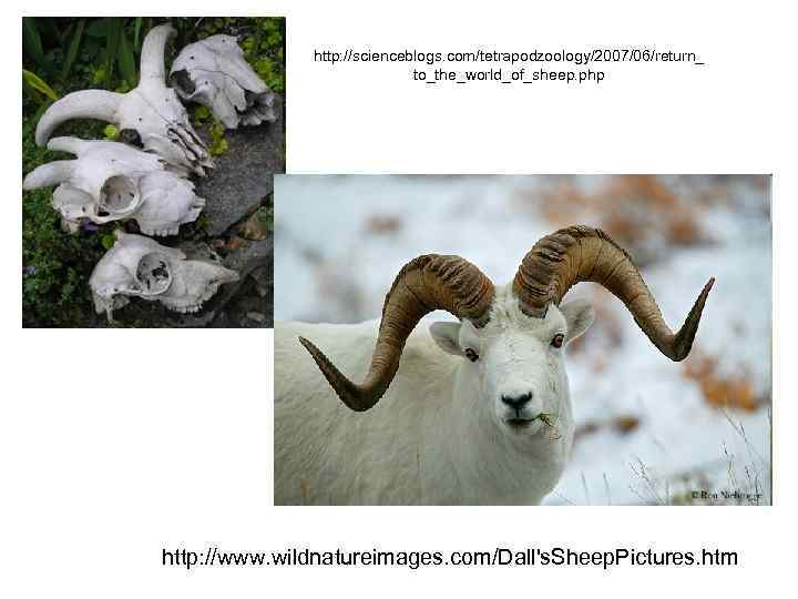 http: //scienceblogs. com/tetrapodzoology/2007/06/return_ to_the_world_of_sheep. php http: //www. wildnatureimages. com/Dall's. Sheep. Pictures. htm