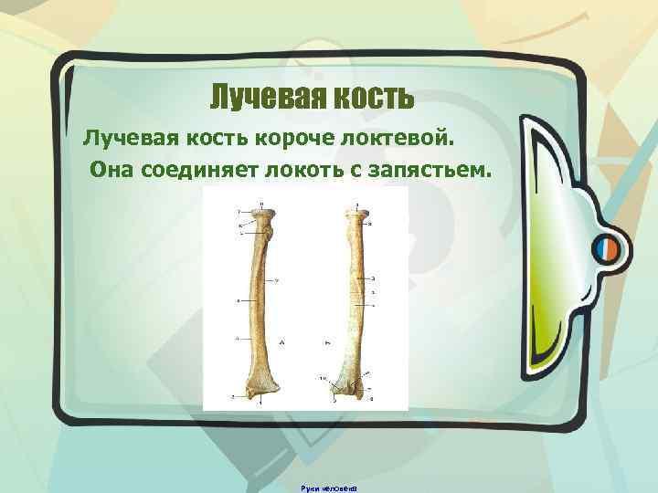 Лучевая кость короче локтевой. Она соединяет локоть с запястьем. Руки человека
