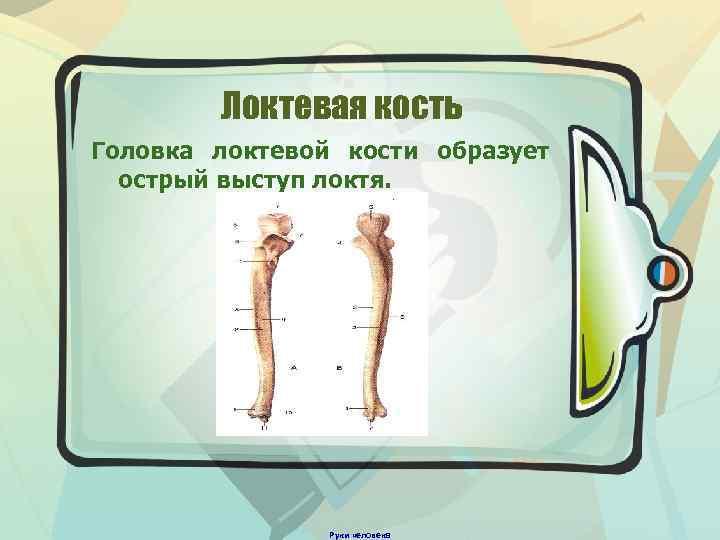 Локтевая кость Головка локтевой кости образует острый выступ локтя. Руки человека