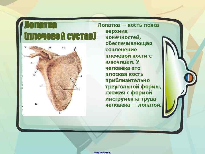 Лопатка — кость пояса Лопатка верхних (плечевой сустав) конечностей, обеспечивающая сочленение плечевой кости с