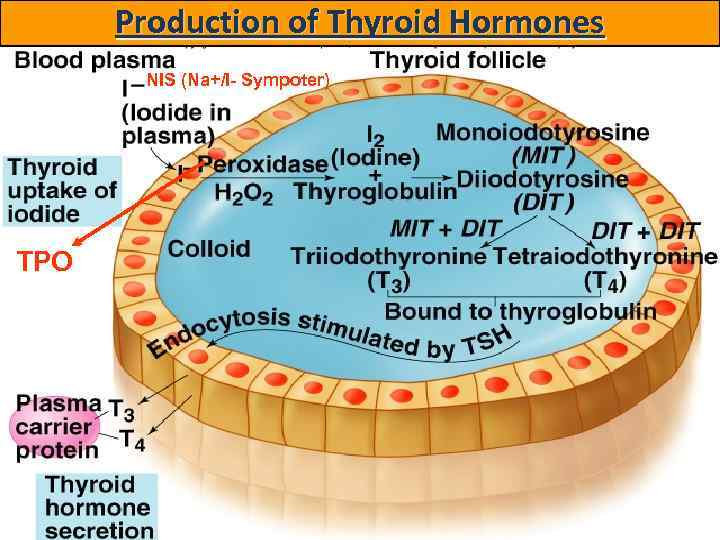 Production of Thyroid Hormones NIS (Na+/I- Sympoter) TPO