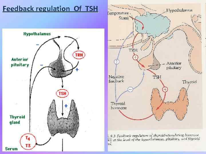 Feedback regulation Of TSH
