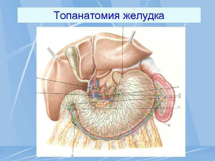 Топанатомия желудка