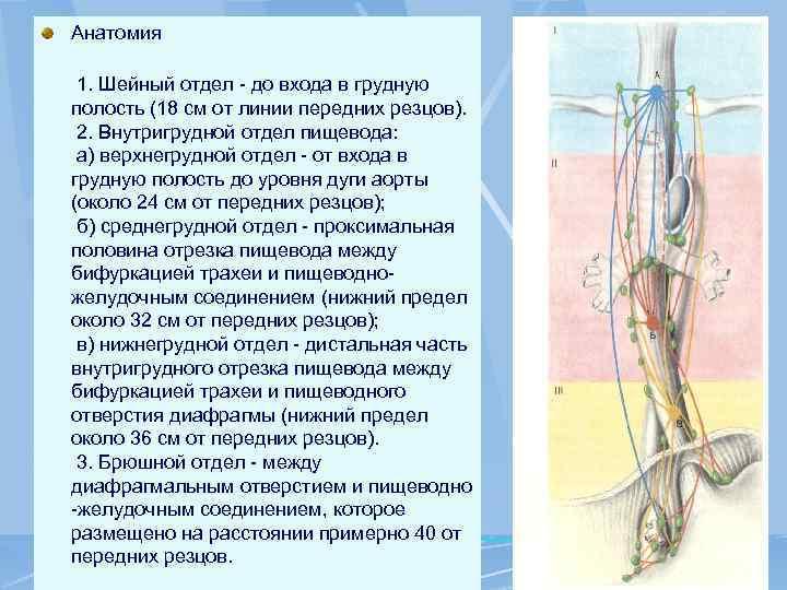 Анатомия 1. Шейный отдел - до входа в грудную полость (18 см от линии