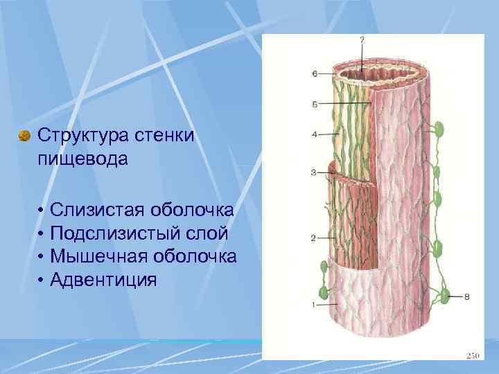 Структура стенки пищевода • Слизистая оболочка • Подслизистый слой • Мышечная оболочка • Адвентиция