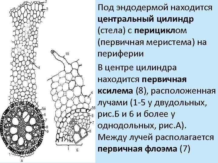 Под эндодермой находится центральный цилиндр (стела) с перициклом (первичная меристема) на периферии В центре