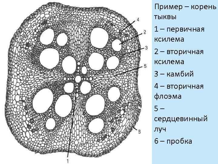 Пример – корень тыквы 1 – первичная ксилема 2 – вторичная ксилема 3 –